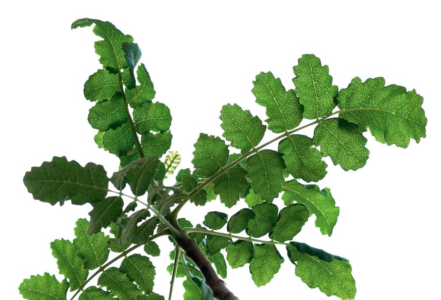 Boswellia leaf
